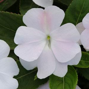 New Guinea Divine White Blush