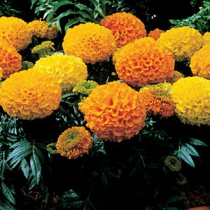 Marigolds African Antigua Orange