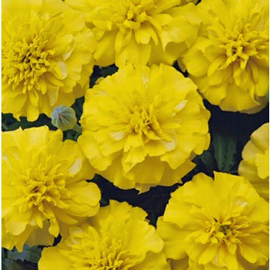 Marigolds Dwarf Bonanza Yellow