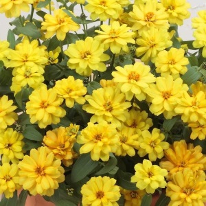 Profusion Double Yellow