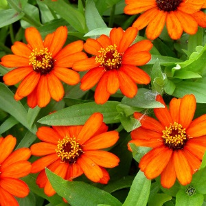 Profusion Orange